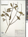 View Vochysia tucanorum digital asset number 1