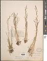 View Agrostis idahoensis Nash digital asset number 1