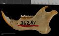 View Sciurus aberti ferreus True, 1900 digital asset number 3