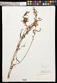 View Piriqueta cistoides subsp. cistoides (L.) Griseb. digital asset number 0