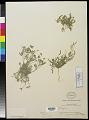 View Astragalus nuttallianus var. austrinus DC. digital asset number 0