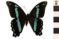 View Green-banded Swallowtail, Blue-banded Swallowtail digital asset number 0