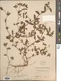 View Euphorbia hypericifolia L. digital asset number 1