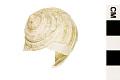 View Turban Shell digital asset number 3