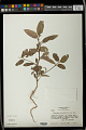 View Caperonia palustris (L.) A. St.-Hil. digital asset number 0