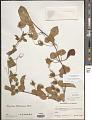 View Passiflora bahamensis Britton digital asset number 1