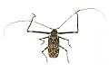 View Giant Harlequin Beetle, Harlequin beetle digital asset number 2