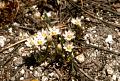 View Lewisia pygmaea (A. Gray) B.L. Rob. digital asset number 3