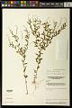 View Polygala paniculata L. digital asset number 0