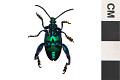 View Frog-legged Leaf Beetle digital asset number 1