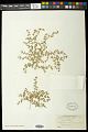 View Euphorbia serpens Kunth digital asset number 0