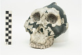 View OH 5, Fossil Hominid, Fossil Hominid digital asset number 3