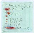 View Aulolithomys bounites Black, 1965 digital asset number 0
