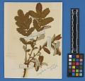 View Botanical Specimens From Quileute Indians digital asset number 19