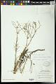 View Euphorbia polyphylla Engelm. ex Holz. digital asset number 0