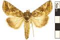 View Cabbage Looper Moth digital asset number 0