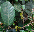 View Sloanea truncata Urb. digital asset number 0