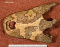 View Brachychampsa montana Gilmore, 1911 digital asset number 0