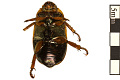 View Grapevine Beetle digital asset number 1