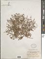 View Euphorbia serpens Kunth digital asset number 1
