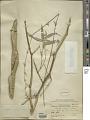View Bambusa ventricosa McClure digital asset number 1
