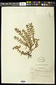 View Euphorbia densiflora (Klotzsch & Garcke) Klotzsch digital asset number 0