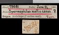 View Urocitellus canus digital asset number 0