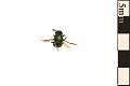 View Cuckoo Wasp digital asset number 0
