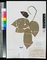 View Commersonia bartramia (L.) Merr. digital asset number 0