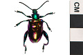 View Frog-legged Leaf Beetle digital asset number 0