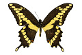 View Giant Swallowtail digital asset number 0