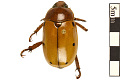 View Grapevine Beetle digital asset number 0