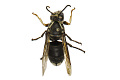 View American White-faced Hornet digital asset number 2