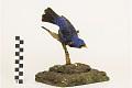 View Blue Grosbeak, Blue Grosbeak digital asset number 1