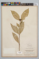 View Psychotria apoda Steyerm. digital asset number 0