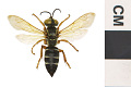 View Square-headed Wasp digital asset number 2