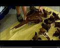 View Mesoplodon europaeus (Gervais, 1855) digital asset number 4