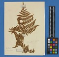 View Botanical Specimens From Quileute Indians digital asset number 21