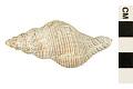 View Northern Siphon Whelk, Mandarin Whelk digital asset number 0