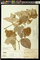 View Thryallis latifolia (Bartl.) Kuntze digital asset number 0