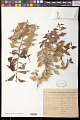 View Jodina rhombifolia (Hook. & Arn.) Reissek digital asset number 0