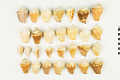 View Florida Fighting Conch, Florida Fighting Conch shells digital asset number 0