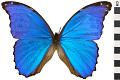 View Giant Blue Morpho digital asset number 2