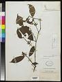 View Heisteria parvifolia Sm. digital asset number 0