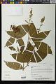 View Flemingia macrophylla (Willd.) Kuntze ex Merr. digital asset number 0
