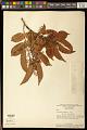 View Tapirira guianensis Aubl. digital asset number 0