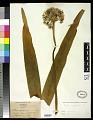 View Allium nigrum L. digital asset number 0