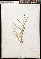 View Carex raynoldsii Dewey digital asset number 0