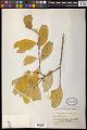 View Dendrotrophe varians (Blume) Miq. digital asset number 0