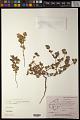 View Euphorbia laciniata Panigrahi digital asset number 0